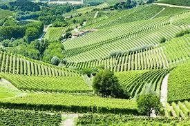 Piemonte vienyards